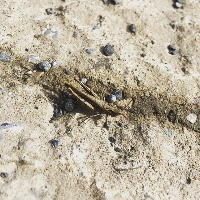 🔎 Did you know: there are 8 species of Grasshopper in Ireland! Thanks to the helpful folk at @dublindeadzoo we think this one is the lowly Field Grasshopper (Chorthippus brunneus). Not sure if this critter is edible, anyone know? . . #insects #entomophagy #research #food #sustainable #healthy #nature #ireland #eatbugs #entomo #protein #edibleinsects