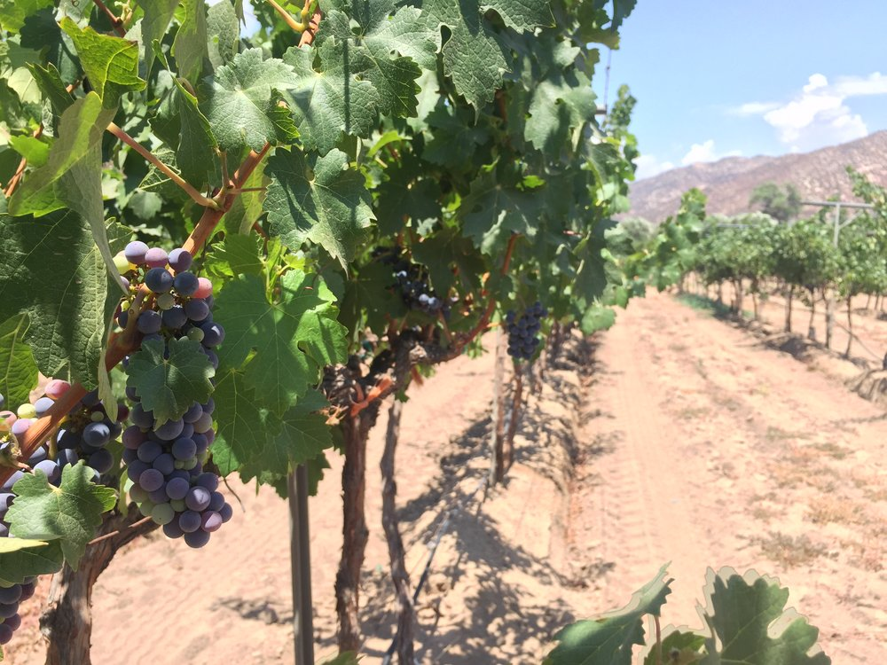 Ripe grapes ready for harvest. Photo credit:  Baja Winery Tours