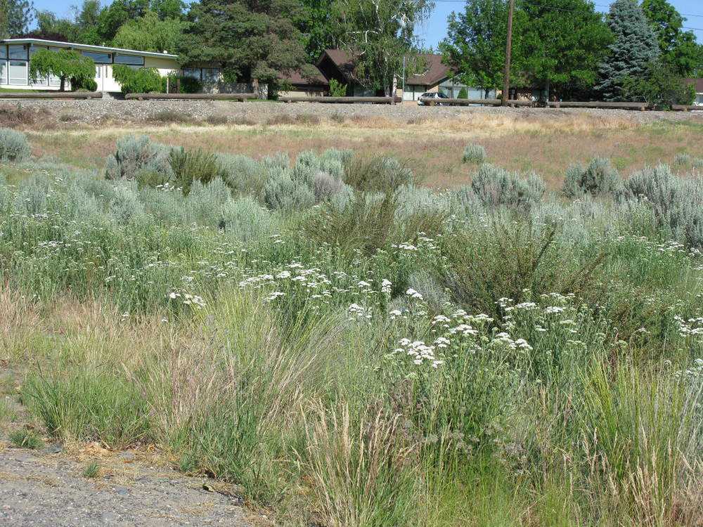 Fig 5. Sagebrush, bitterbrush,native grasses, and yarrow