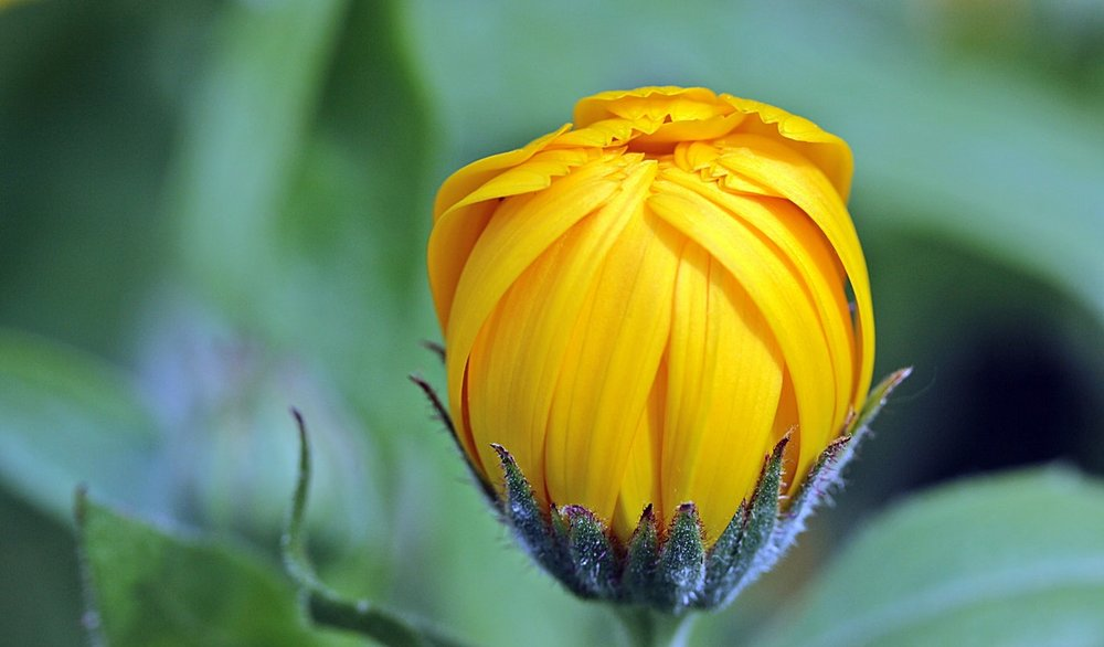 marigold-calendula-bud-open-122441.jpeg
