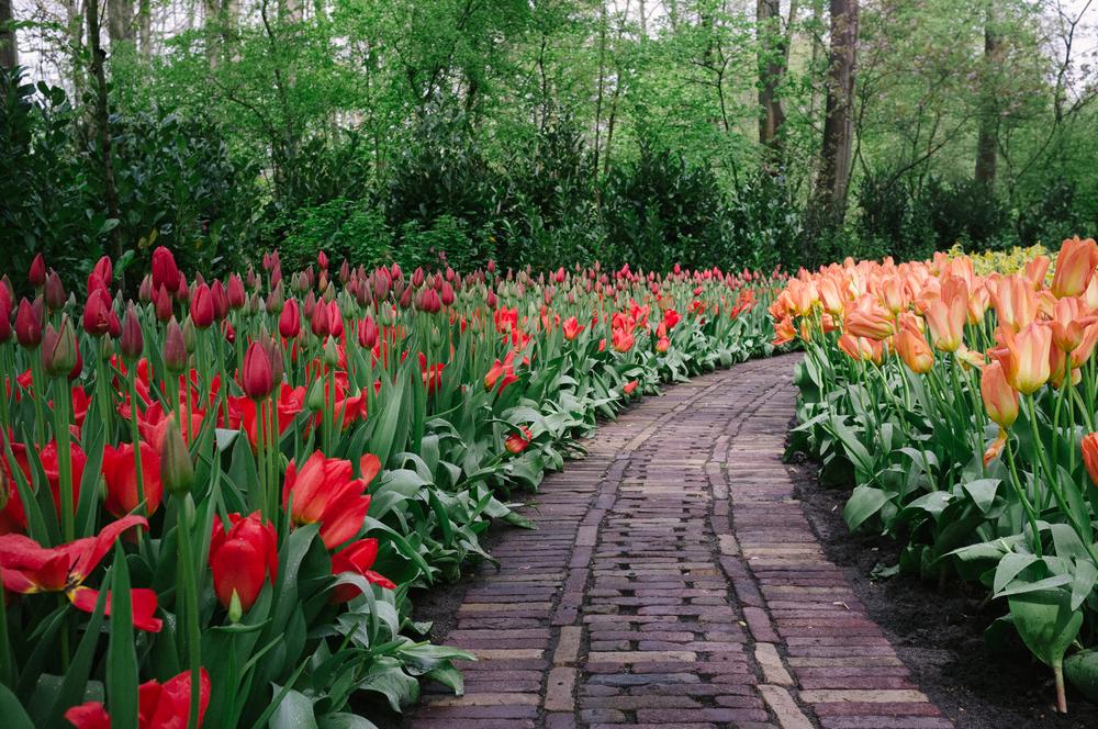 Keukenhof Gardens / Tulip Path / Fuji X100
