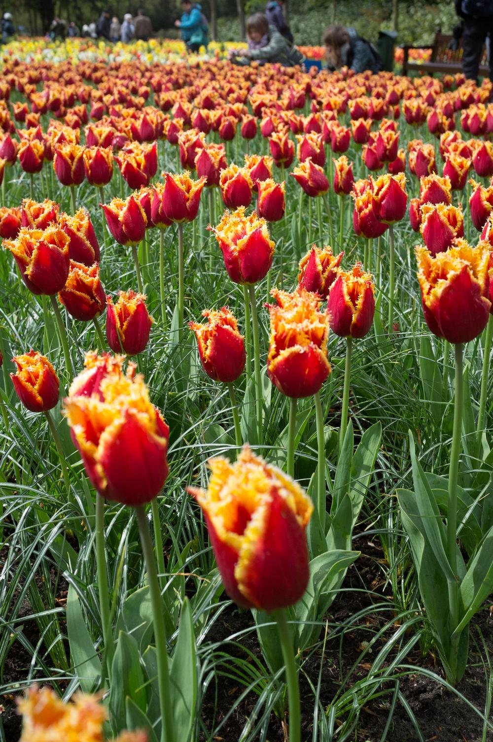 Keukenhof Gardens / Tulips / Fuji X100