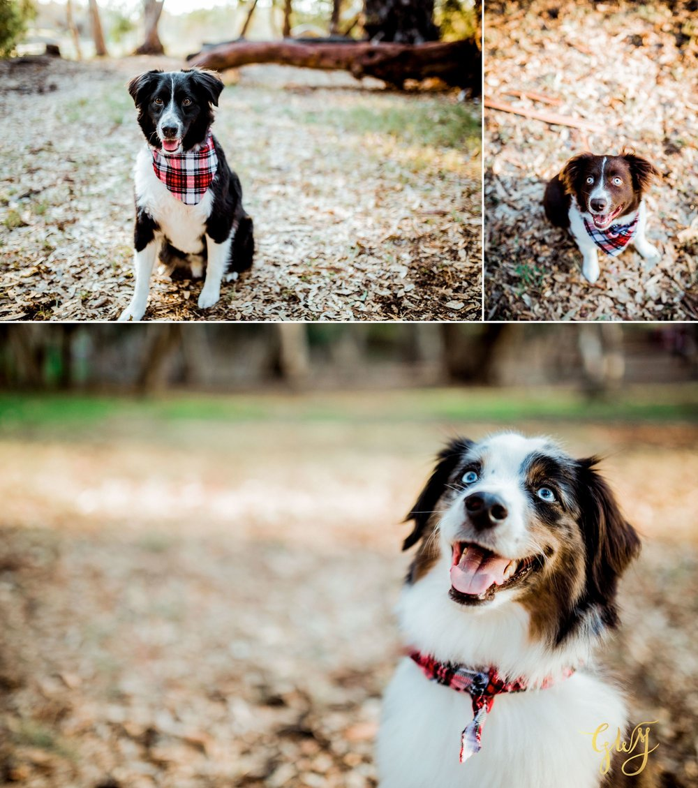 Adams Family Huntington Central Park Australian Shepherd Dogs Puppy Fall Winter Holiday Portrait Mini Session by Glass Woods Media 5.jpg