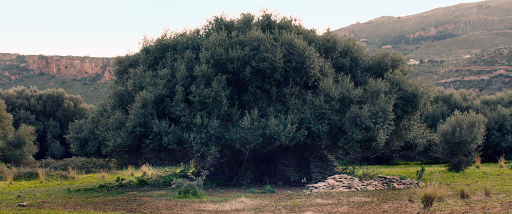 olive tree from DJH computer.jpg