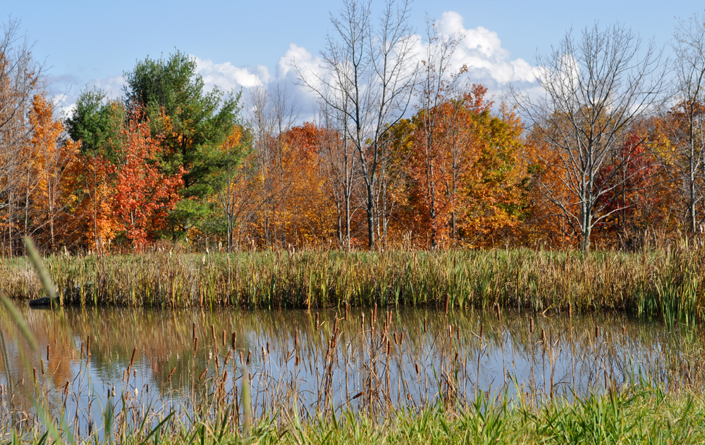 Cattails along the edge of a pond on Old Field Farm. (Photo: Chris Murtha)