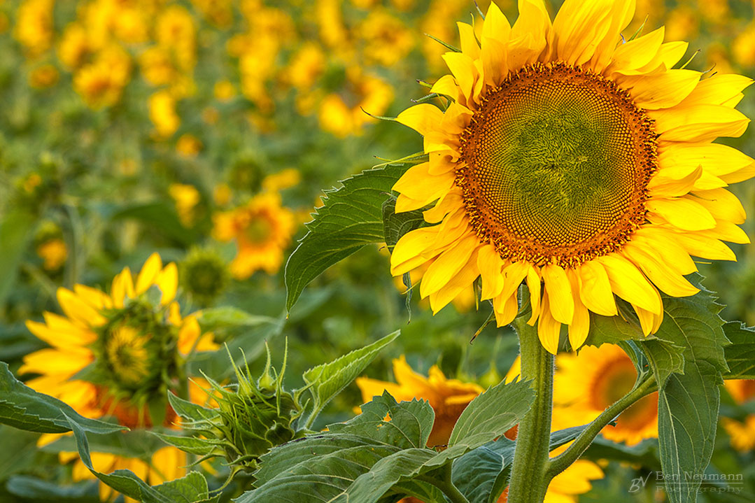 Traverse_city_sunflower_field_fine_art_photography_ben_neumann
