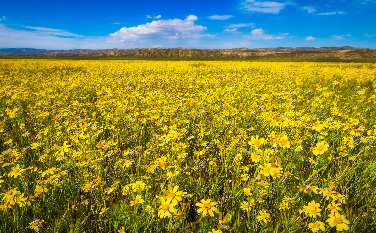 Carrizo National Monument spring flower bloom. This photo was taken early April.
