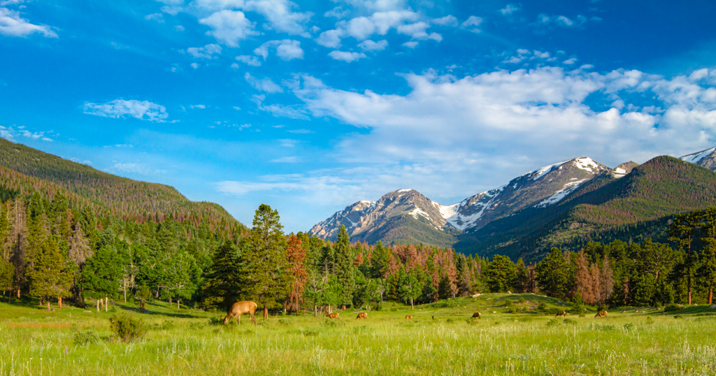 A wildlife landscape of elk grazing in a field in Rocky Mountain National Park.