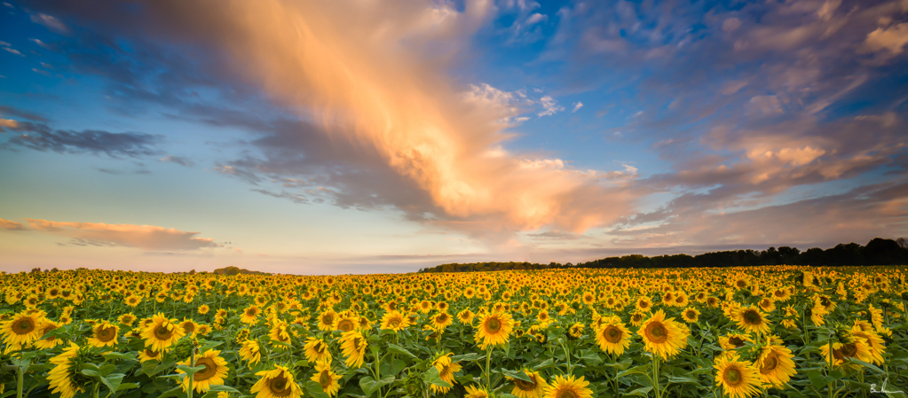 This image was made just moments after sunrise. I used the 24mm TS-e to make this three shot panorama. A ND hard grad filter was used to balance out the exposures between the sky and the sunflowers.