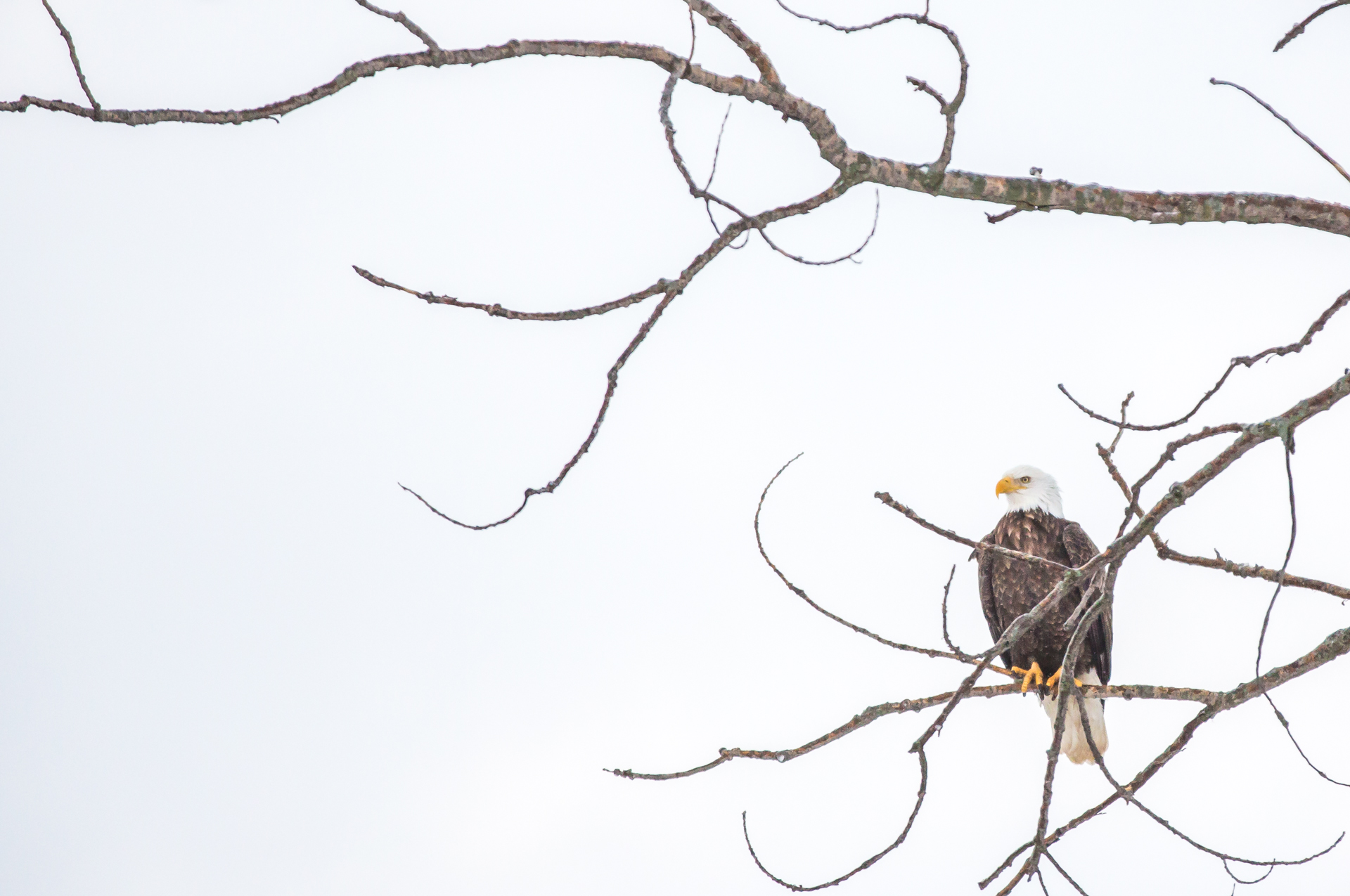 A Bald Eagle overlooking the Mississippi river looking for his breakfast.