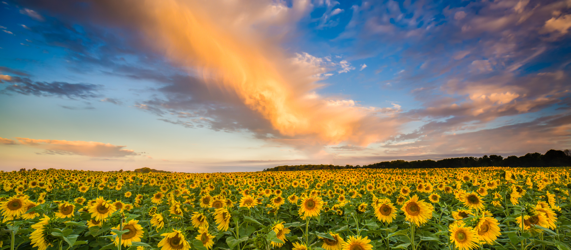 traverse-city-sunflowers-2013