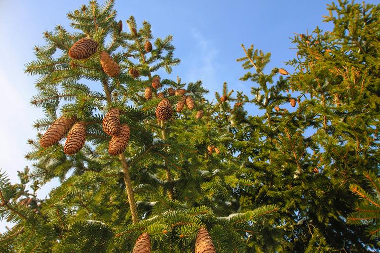 ben-neumann-pine-trees