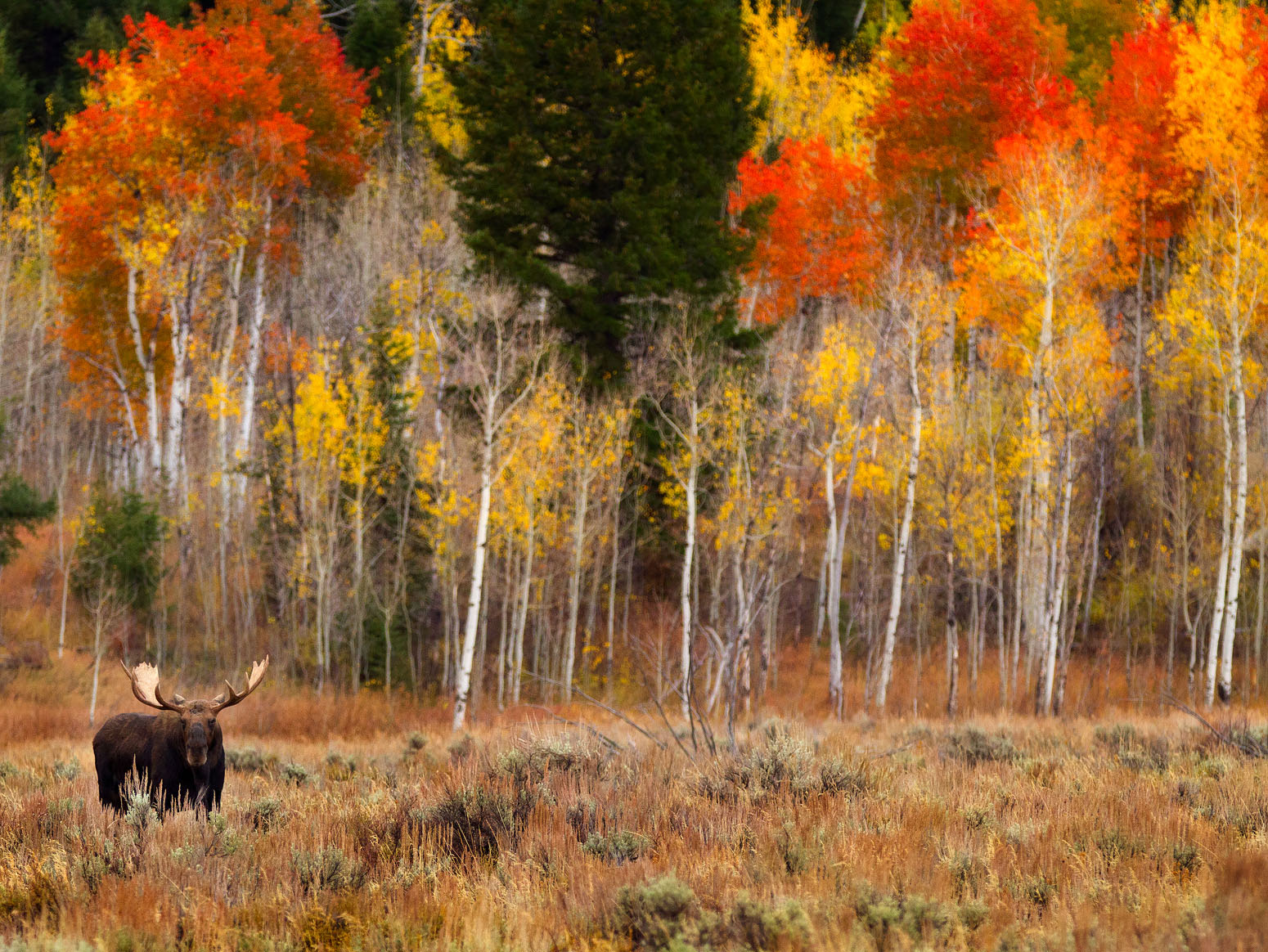 grand teton moose photo