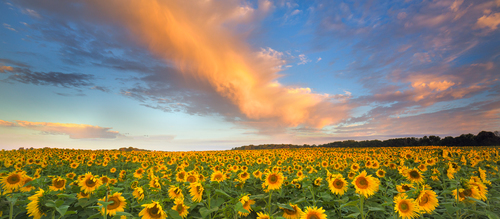 Flowers of the Sun. traverse city michigan sunflower field sunrise ac990a1667205