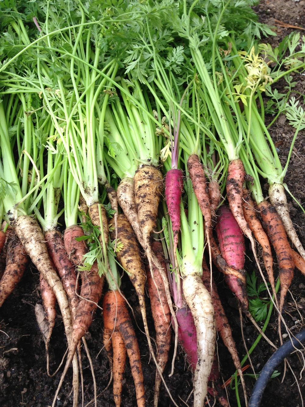 Garden_Carrots2_2014-02-17 13.50.34.jpg