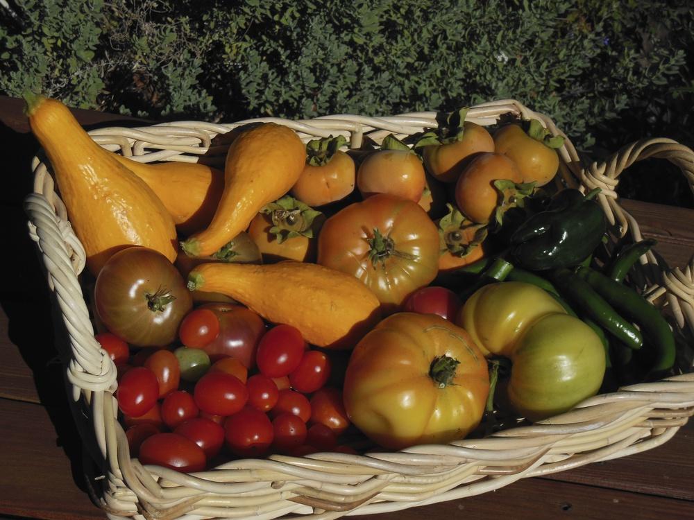 Tomato_Harvest.jpg