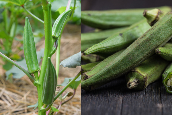 Summer Okra | Rathbun Organic Garden September 2015