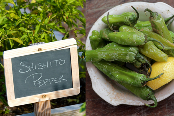 Shishito Peppers | Rathbun Organic Garden September 2015