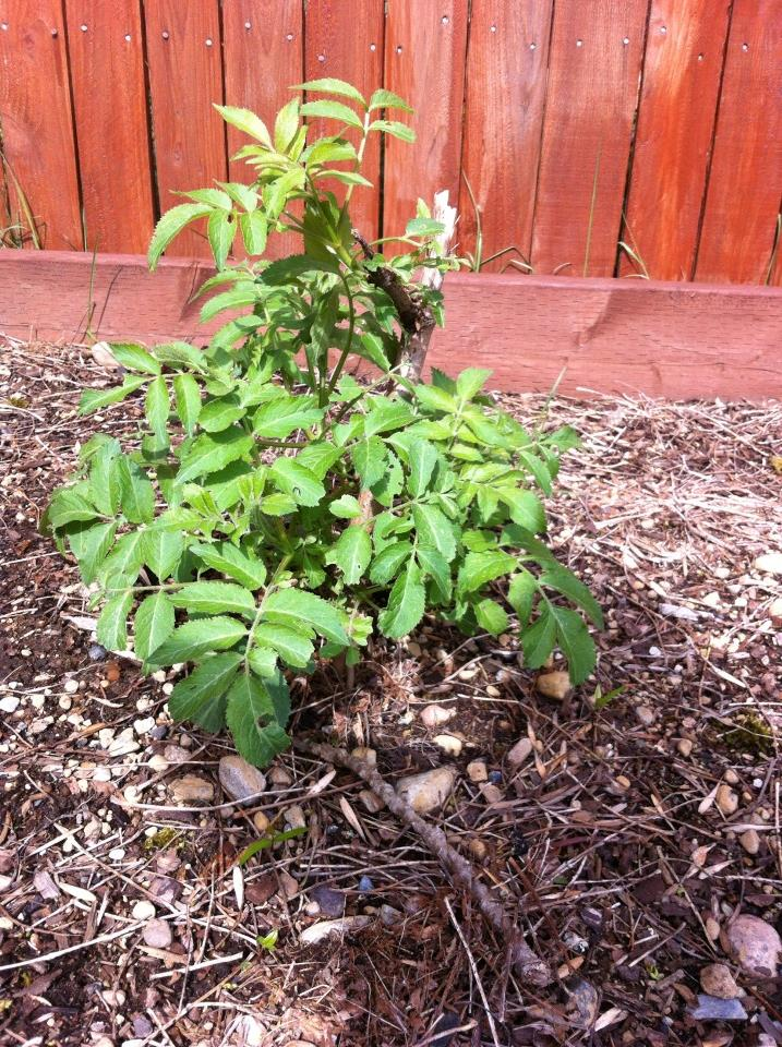 We bought this elderberry bush at the farmer's market last spring. I am looking forward to researching things to do with elderberries once it starts producing.