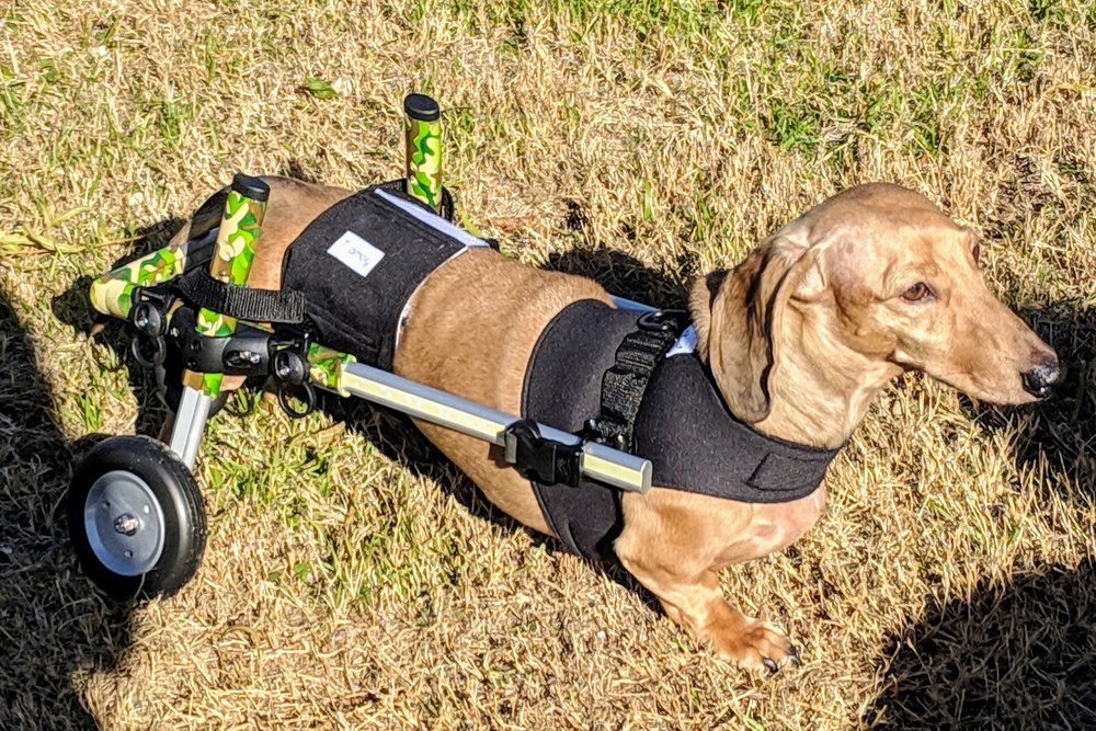 Our Bernie is recovering from IVDD, and gets around nicely in his fashionable wheelchair.