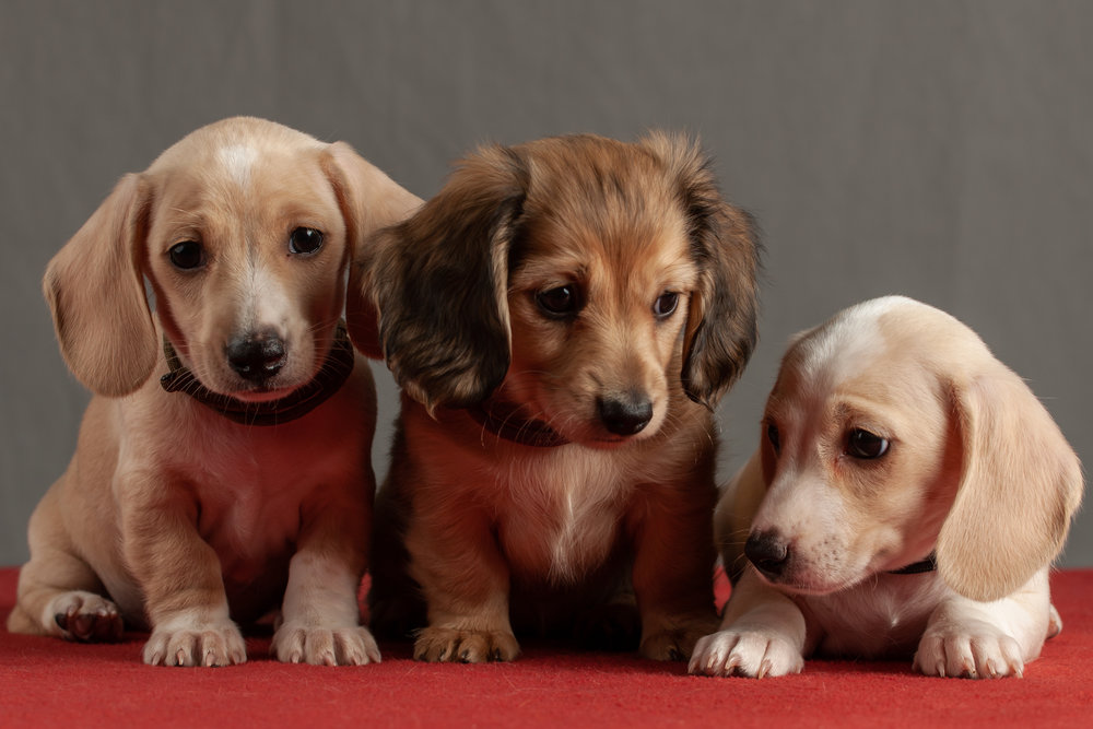 Litter @ 7 weeks - 1/21/19   Tan, Burgundy, Gray