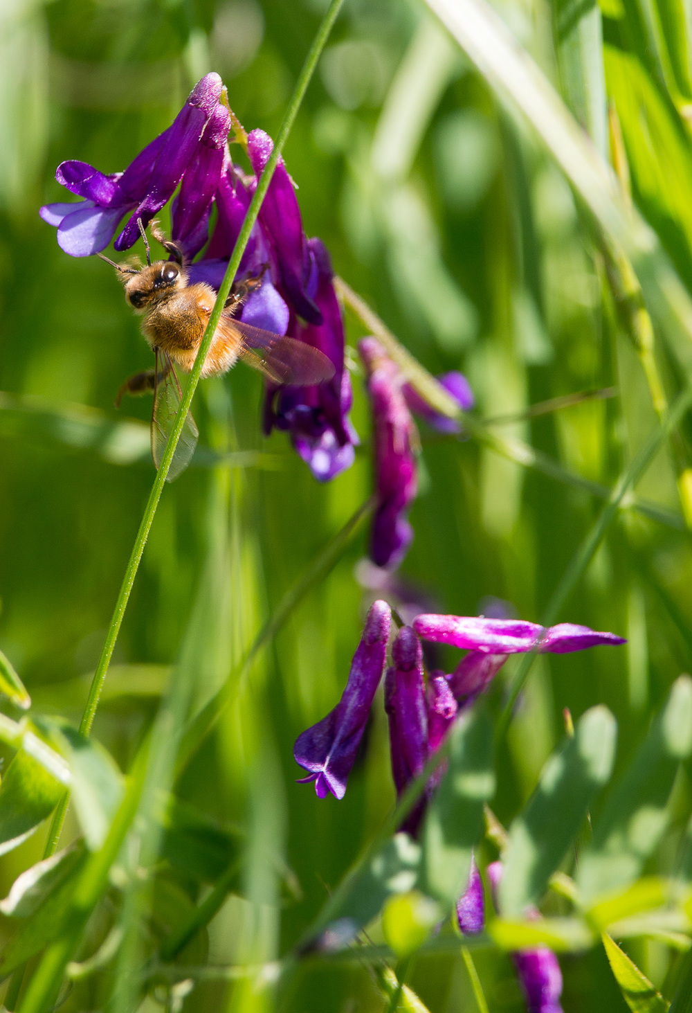 BEE with vetch