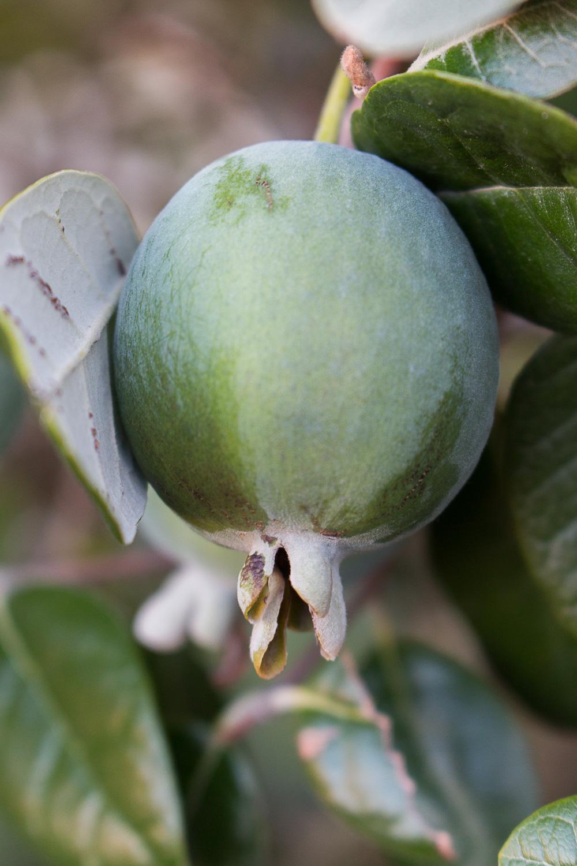 guava_hunting-1.jpg