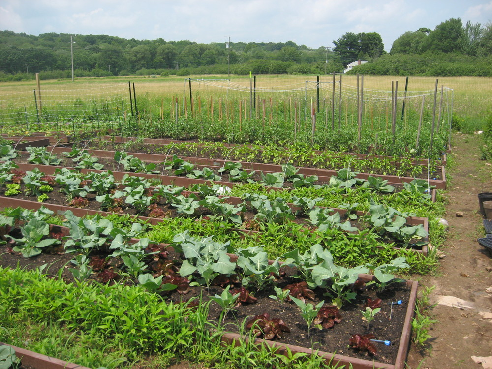 Broccoli and lettuce in foreground, tomatoes in rear