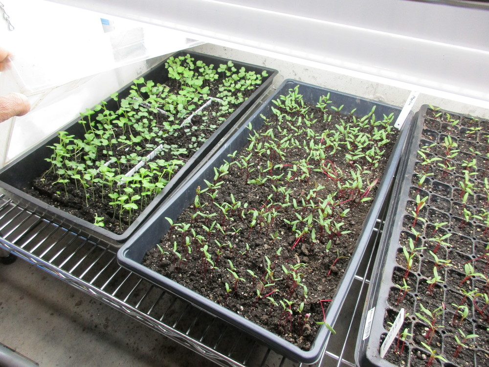 Kale on left, Swiss chard and beets in middle and right (they look identical at this stage)
