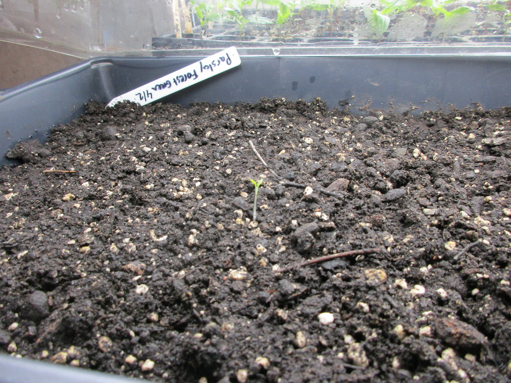 One lone parsley seedling? If yes, it is 3 weeks earlier than expected!
