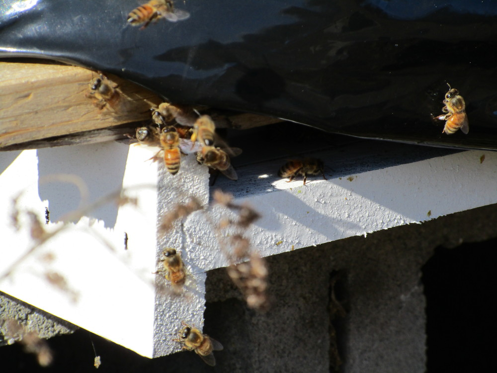 Feb 25th The day after the storm.  Bees coming in to land on the landing platform of their hive. Note the one near the center of this image has a yellow pollen sack attached to its leg. It probably got the pollen from skunk cabbage flowers that are the first things to come up in spring, or rather, end of winter.