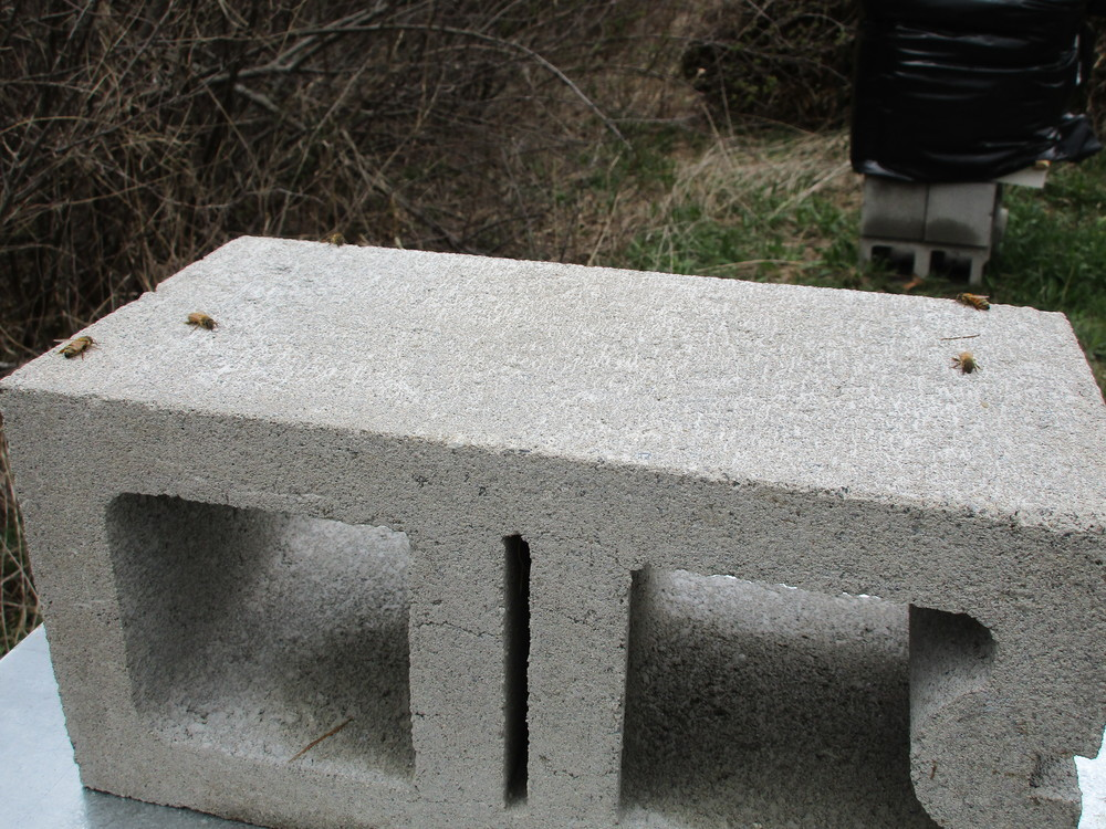 Here are some that had been sunning themselves on the cinder block on top of the hive. Now they're too cold to find their way back to the entrance of the hive below.
