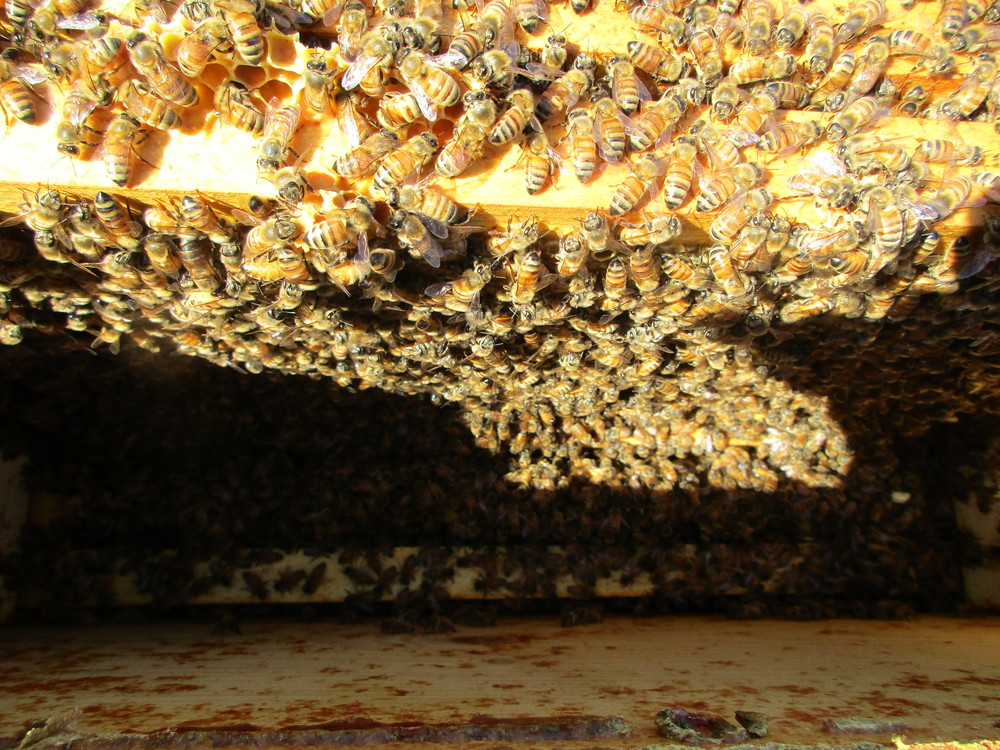 Looking down into the top hive box after I have removed a few frames. A ton of bees!