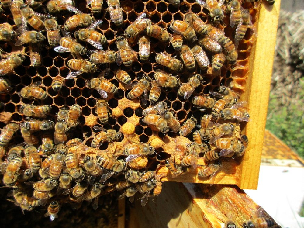 I tried to get the bees to move so I could take the picture, but they moved back. I noticed the bees like to fuss around the queen cells. Now I can't tell how many are in this picture. Two queen cells?