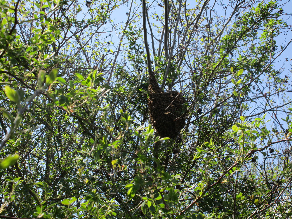 Monday May 9th.  The dark shape attached to the branch is a mass of bees, or a swarm.