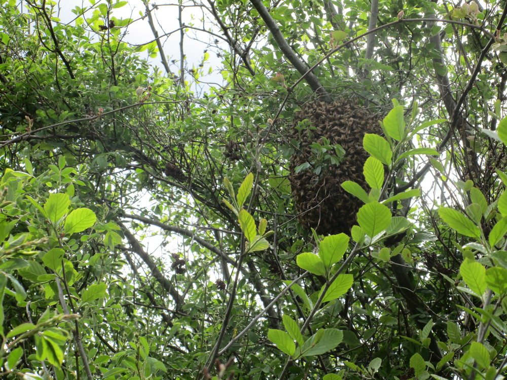 Tuesday May 17th. No, this is not last week's picture of a swarm, this is another one!