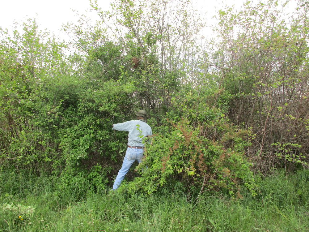 Allen, hacking away at the bushes to gain access to the shrub that the swarm was in.