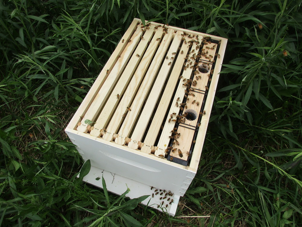 The swarm bees have now moved down into the hive. Soon I can put the lid on, when all the bees flying around have found it.
