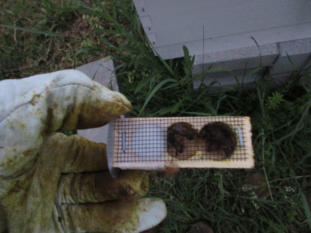 A queen cage. The candy end is on the left. Once I fasten the cage into the hive, she and other bees will eat a hole through the candy plug and she will be able to get out. There are some other bees in the cage with her - her attendants.