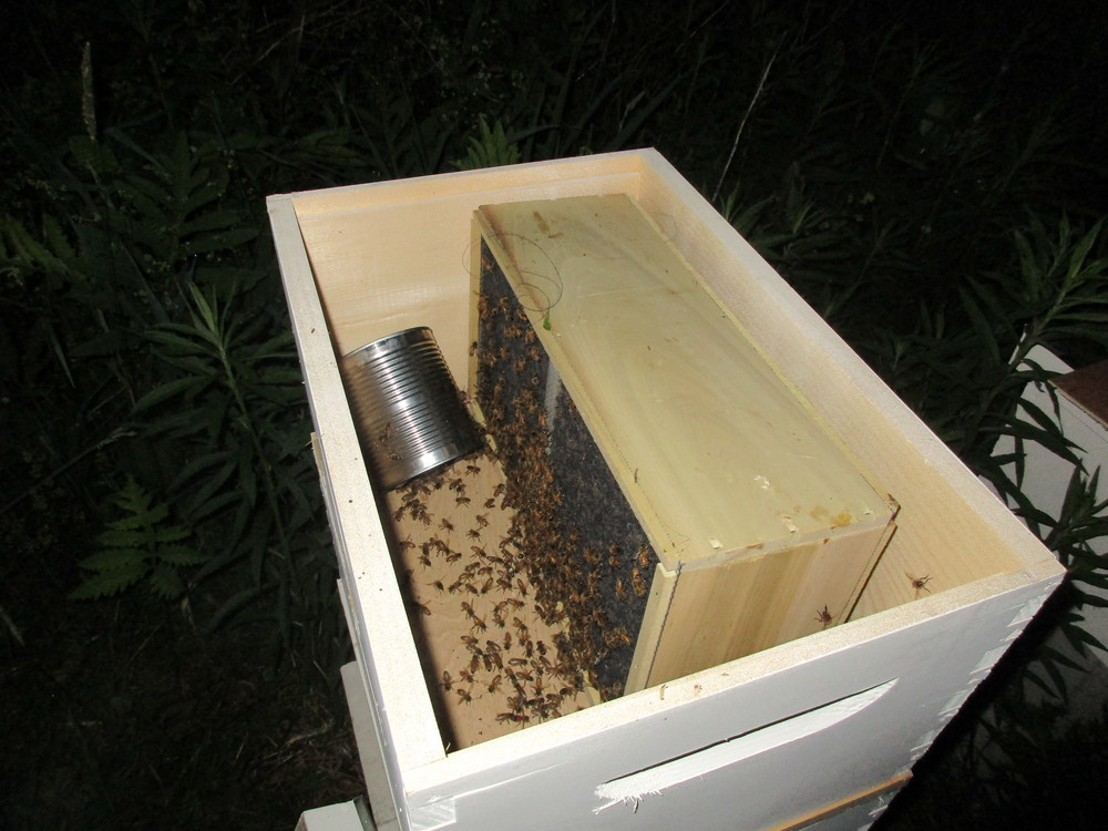 I then put an empty hive box on top, and turned the bee package box upside down in that. Then put on the lid and left the bees to explore and work their way down into the hive, where they would be able to detect the queen.