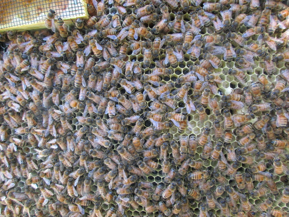 Closer view - you can now see the larvae pretty clearly - little curled up white things at the bottom of the cells in the center/right.