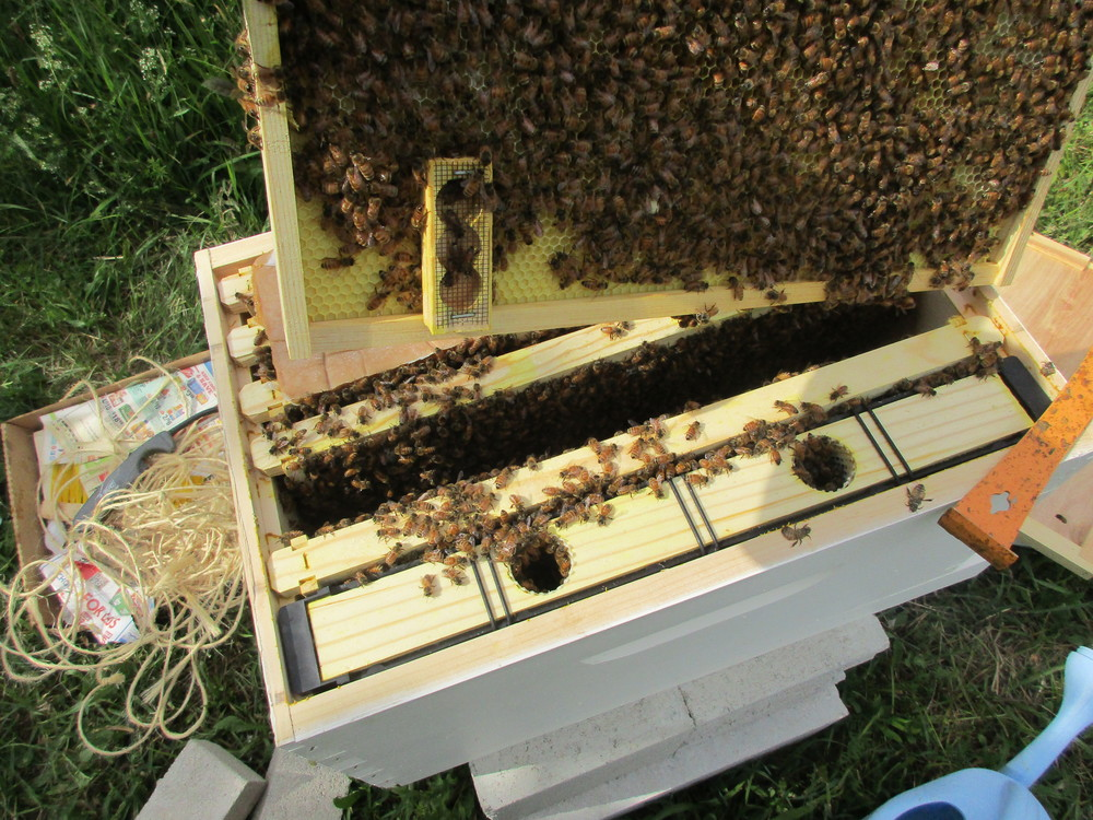 Queen cage is upside down, near the bottom of the frame instead of at the top facing up, where I had put it. The queen is not in there. Other bees are in there, exploring.