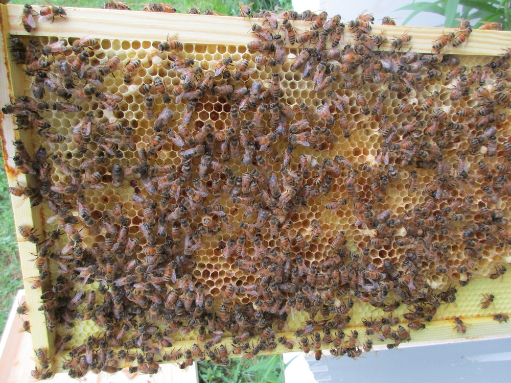 Empty drone brood cells in queenless hive. A worker bee is laying eggs, but workers can only lay drone cells (males). Only queens can lay female eggs.