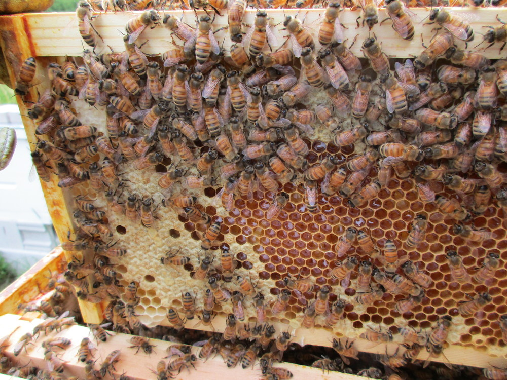 This is not what you want to see - brood cells in the honey super.