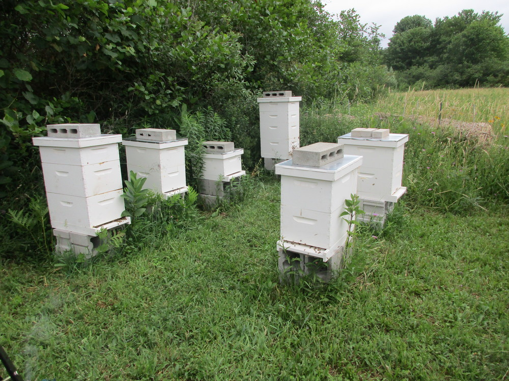 All hives now have two hive boxes, with the exception of the swarm hive which is not doing well since it seems to have lost its queen.
