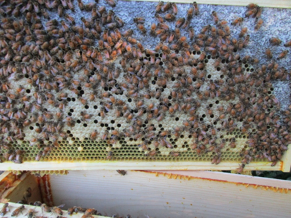 The white crinkly area on the top is where honey is stored, and the yellowish cells in the center are brood cells.