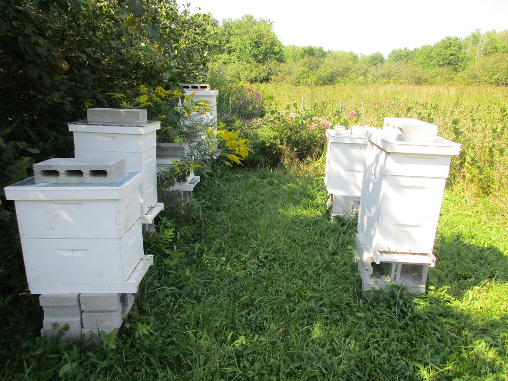 Hive 1 is the hive at front, left. Notice more bees at the entrance of the other hives.