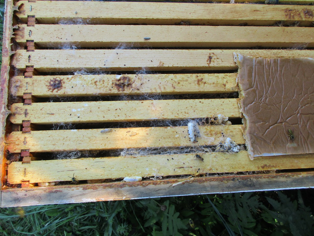 Looking down into Hive 1. You can see a few wasps, and some white wax moth cocoons. The large square thing is the remains of the pollen patty I put in there before I left. The wasps were feeding on it.