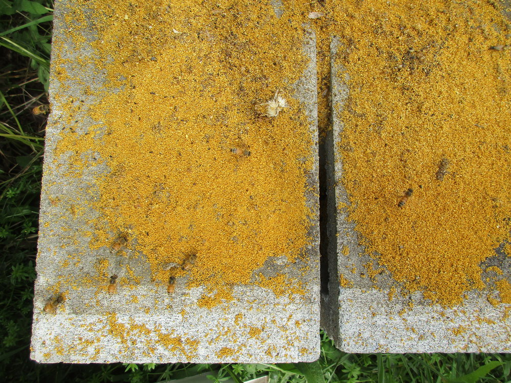 Bees gathering up the yellow grains (of pollen?) left behind when I moved Hive 1 off it's stand.