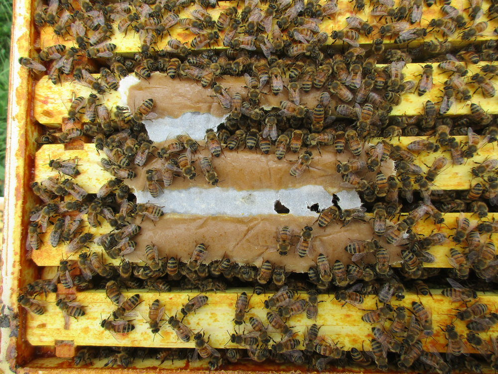 Hive 3. Notice how they are making short work of the pollen patty I put in there last Thursday. They've eaten all the parts in between the frames.